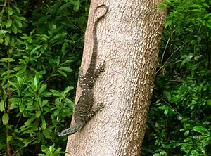Lace monitor - Image: Goanna coming down a tree in our garden