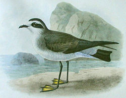 Lithographic illustration of a White-faced Storm Petrel standing