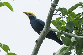 Golden-crested Myna - Central Thailand S4E8050 (22812555271).jpg