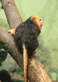 Golden-headed Lion Tamarin 085.jpg