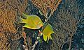 Golden Damselfish (Amblyglyphidodon aureus) (6056165748).jpg