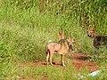 Golden jackal (Canis aureus) കുറുനരി 3.jpg