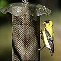 Goldfinch (4826858522).jpg
