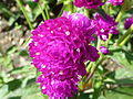Gomphrena globosa (Gomphrena) flower.JPG