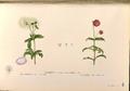 Gomphrena globosa Blanco1.68-original.png