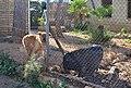 Gos i porc vietnamita per les Mirandes, Gata de Gorgos.jpg