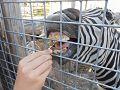 Grévy zebra.jpg