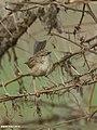 Graceful Prinia (Prinia gracilis) (24826534987).jpg
