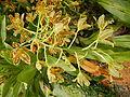 Grammatophyllummultiflorumjf9215 11.JPG