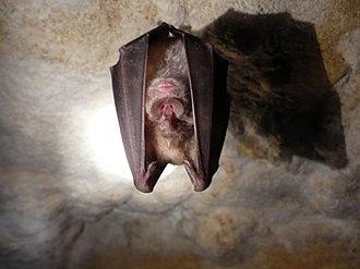 Greater horseshoe bat - Image: Grand Rhinolophe 2