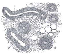 structure[edit]  body of a sweat gland