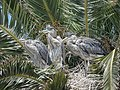 Great Blue Heron (34802045271).jpg