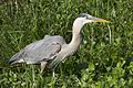 Great Blue Heron (Ardea herodias) - Flickr - Lip Kee (2).jpg