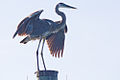 Great Blue Heron Cocoa Beach Florida.jpg