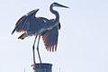 Great Blue Heron Cocoa Beach Florida.jpg