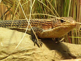 Great Plated Lizard CAS 1.JPG