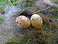 Great Tit Nest 30-04-11 (18.7 mm x 14.2 mm Egg Size) (5673020653).jpg