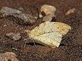 Great orange tip Mudpuddling from Melagiri TN IMG 6460.jpg