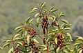 Greek Strawberry Tree - Sandal Ağacı - Arbutus andrachne 01.JPG