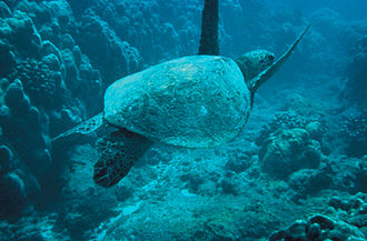 Indian Harbour Beach, Florida - Green sea turtle