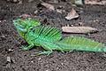 Green Basilisk, Alajuela, Costa Rica.jpg