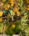 Green Bee Eater with a bug (13457212793).jpg