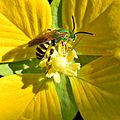 Green Bee Exploring Primrose Willow (10419067264).jpg