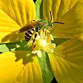 Green Bee Exploring Primrose Willow (10419067264).jpg
