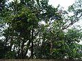 Grewia umbellifera Bedd. (16098821067).jpg