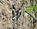 Grey-throated Martin (Riparia chinensis), Chitwan, Nepal (21449691840).jpg