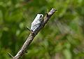 Grey Foam-nest Treefrog (Chiromantis xerampelina) diurnal coloration (11530236036).jpg