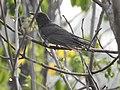 Grey bellied cuckoo( Cacomantis passerinus)ചെറുകുയിൽ.jpg