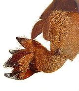 Gryllotalpa sp. front leg.jpg