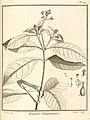 Guapira guianensis Aublet 1775 pl 119.jpg