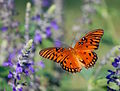 Gulf Fritillary in Flight 0571.jpg