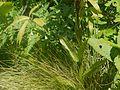Gymnadenia orchidis (7815302074).jpg
