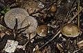 Gymnopus subpruinosus (Murrill) Desjardin, Halling & Hemmes 477548.jpg