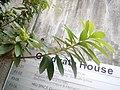 HKU 大學徑 University Drive Rhododendron simsii 杜鹃花科 Ericaceae 杜鹃属 Rhododendron 映山红 杜鹃 艳山红 November 2017 Lnv2.jpg
