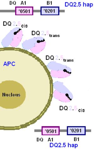 HLA-DQ2 - Isoform pairings in DQ2.5 homozygotes result in one isoform