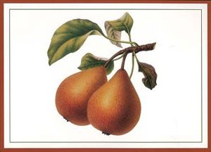 Illustration of a pear variety from the Herefo...