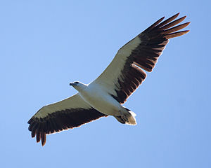 White-bellied sea eagle - Adult flying in Bundala National Park, Sri Lanka, the black flight feathers contrasting with the wing lining clearly visible