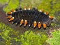 Handsome Fungus Beetle Larva (Endomychidae) (15437360456).jpg