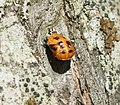 Harmonia axyridis (Harlequin ladybird) - pupa - Flickr - S. Rae.jpg