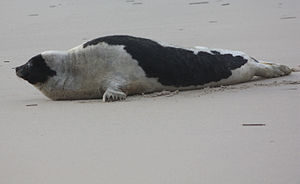 Harp seal at False Cape (cut).jpg