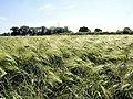 Haslington - barley field - geograph.org.uk - 856362.jpg