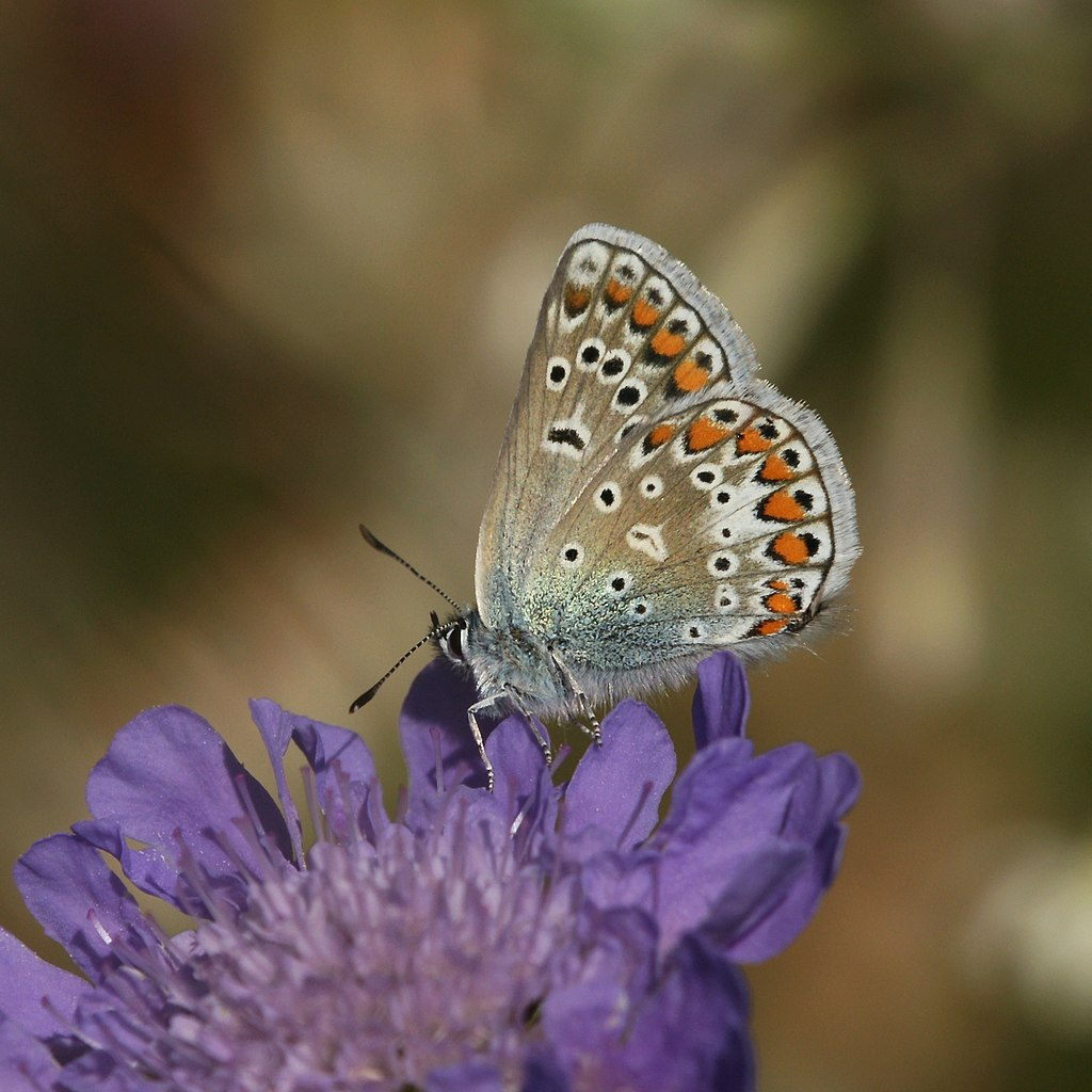 Image result for scabiosa columbaria butterfly blue