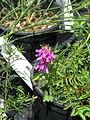 Hedysarum hedysaroides (14524901255).jpg