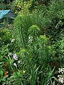 Helianthus salicifolius - Flickr - peganum (3).jpg