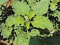 Heliotropium indicum 01a.JPG