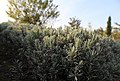 Hellblauer Polster-Lavendel Blue Cushion (Lavandula angustifolia) Blumengärten Hirschstetten Wien 2014 c.jpg